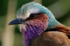 Lilac-breasted roller   by writhedhornbill Reptiles And Amphibians, Mammals, Lilac Breasted Roller, Bee Eater, Colorful Birds, Kingfisher, Rollers, Flocking, Bird Feathers