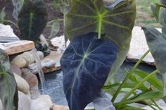 Backyard pond #gardening #waterfeatures