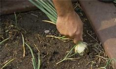 How to Grow Onions and Garlic