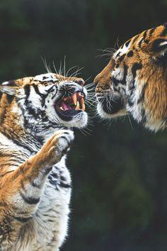 EveryDaysAGreatDay - wavemotions:  Tiger argument II