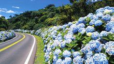 Gramado - Rio Grande do Sul - Brazil. You can find Hydrangea all over this beautiful city in Brazil. Rio Grande Do Sul, Wonderful Places, Beautiful Places, Simply Beautiful, Hortensia Hydrangea, Blue Hydrangea, Limelight Hydrangea, Hydrangea Macrophylla, White Hydrangeas