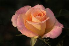 Day Breaker Rose Photograph Taken: 10/1/2011 Minnesota Landscape Arboretum Rose Garden