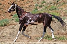 Akhal Teke... with some seriously awesome sabino markings. Love it! I so want one of these horses.