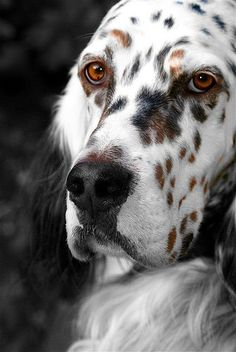 "The English Setter. From the best available information, it appears that the English Setter was a trained bird dog in England more than 400 years ago. They're temperament is best described as a ""Gentleman by Nature"". However, it can also be strong-willed and mischievous. English Setters are energetic, people-oriented dogs, that are well suited to families who can give them attention and activity. They do have a couch potato side though, & many are good with children."