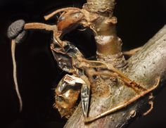 "U.S. Ophiocordyceps unilateralis sensu lato, zombie fungus infected ant. ""Sensu lato"" meaning no name for it yet."