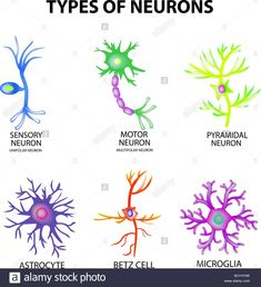 Types of neurons structure sensory motor neuron vector image on VectorStock Biology Lessons, Science Biology, Medical Science, Life Science, Science Education, Physical Education, Health Education, Teaching Biology, Computer Science