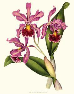 Cattleya-Elisabethae Orchid Art Print  #OrchidPrints #VintageBotanicals