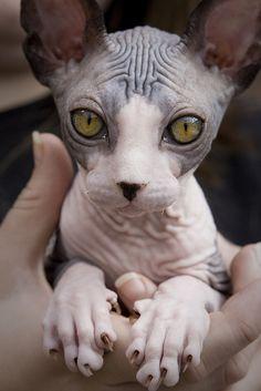 baby sphynx cat.