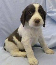 Cute Springer Puppies-8 Weeks Old