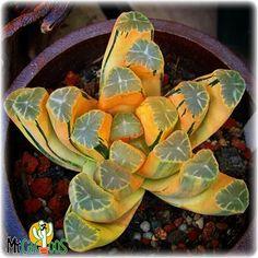 Amazing Unusual Plants To Grow In Your Garden Rare Plants, Pretty Plants, Plants, Succulent Terrarium, Cacti And Succulents, Cactus And Succulents, Unusual Plants, Indoor Plants, Planting Succulents