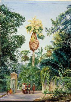 Talipot Palm, near the Botanic Garden, Peradeniya, Ceylon    Marianne North