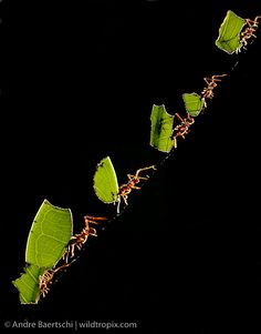 Workers of Leafcutter Ants (Atta sp.) carrying freshly-cut pieces of leaves down a tree in lowland tropical rainforest, Bahuaja-Sonene Natio...