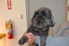 MIA is an adoptable Shih Tzu searching for a forever family near Amelia, OH. Use Petfinder to find adoptable pets in your area. Shih Tzu Dog, Amelia, Animal Rescue, Searching, Adoption, Pets, Animals, Foster Care Adoption, Animales