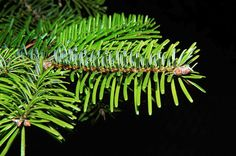 4 oz Pine Essential Oil Personal Mist w/100% Essential Oil, Vodka Blend and Purified Water by AWiser| Made to Order  Pine Needle Essential Oil  Botanical Name: Pinus sylvestris L.  Plant Part: Needles, twigs, and buds  Extraction Method: Steam  Origin: Hungary  Aroma: Crisp, resinous  Pine essential oil are know to be: antibacterial analgesic diuretic energizing antiseptic Caution: * * Not to be ingested **individuals with kidney issue should consult their physician before using products...