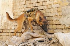 belgian malinois serving in iraq