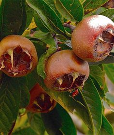 Picture of Breda Giant Medlar Fruit Trees Uk, Espalier Fruit Trees, Berry Plants, Fruit Plants, Gardening Zones, Gardening Tips, Peach Trees, Passion Flower, Harvest Time