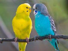 Muhabbet Kuşu Alırken Dikkat Edilmesi Gereken Herşey