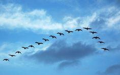 """Por Roberto Garini Quando você vir gansos voando em formação """"v"""", pode ficar curioso quanto às razões pelas quais eles escolhem voar dessa forma… Uma equipe de cientistas da universidade de montreal no Canadapesquisou o vôo em """"v"""" na década de 60e descobriu como a. Leia Mais"""