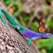 Colorful Lizard with a Guest: A Beautiful Butterfly!