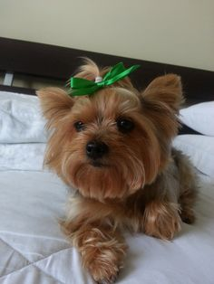 Princess Bella   A community of Yorkshire Terrier lovers!