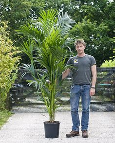 Kentia Palm from House of Plants – large houseplant specialists – Top Trend – Decor – Life Style Palm Garden, Garden Trees, Tropical Garden, Tropical Plants, Garden Plants, Planting Plants, Fence Plants, House Plants Decor, Plant Decor