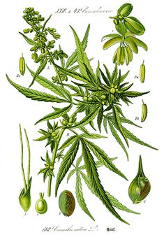 Illustration Cannabis sativa, Prof. Dr. Otto Wilhelm Thomé 1885 /submitted by Cresco Labs