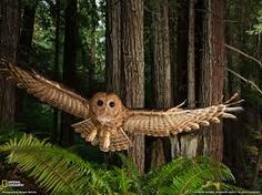 california redwood forest - Google Search