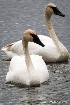 Trumpeter Swans – Now a Regular Visitor Aggressive conservation efforts have brought this majestic bird back from the brink of extinction. We have seen them for several years in a row now as …