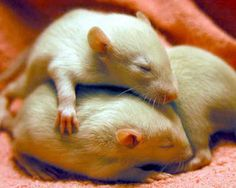 hamsters were my favorite pet Funny Rats, Cute Rats, Cute Hamsters, Animals And Pets, Baby Animals, Cute Animals, Cute Mouse, Little Critter, Rodents