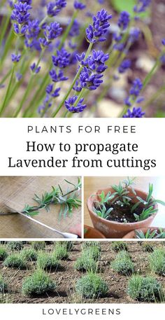 Instructions on how to propagate lavender from cuttings. Works for all varieties and cuttings from new or semi-hard wood #freeplants #gardeningtips #growlavender
