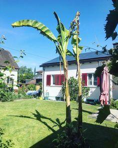 By kleintiereonline.de. . Bald Bananen in Mitteleuropa? Die Bananenstauden überragen in unserem Garten alle Pflanzen. Wenn sie die zwei Meter langen Blättern im Wind hin und her baumeln lassen, ist das jedes Mal ein Schauspiel. Keine Pflanze wächst schneller als sie. Erst wenn eine solche Staude entfernt wird, zeigt es sich, welches Pflanzenmassepotential die Bananenstauden haben. . #banane #bananenfrucht #bananenwachstum #bananengewächs #dessertbanane #schnellwachstum #bananenplantagen… Arch, Outdoor Structures, Plants, Lawn And Garden, Longbow, Wedding Arches, Bow, Arches, Belt