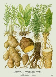 Vintage Botanical Print Antique GINGER