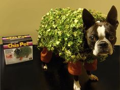 Chia pet costume on a Boston Terrier. haha Chia pet costume on a Boston Terrier. Halloween Costumes You Can Make, Halloween Puns, Halloween Costume Contest, Funny Halloween Costumes, Halloween Ideas, Happy Halloween, Halloween Party, Best Dog Costumes, Small Dog Costumes
