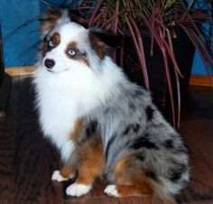 """Champion Lindsey's 10 Inch High Private Eye, AKA """"Agent"""": This guy is a 5th generation breeding from Lindsey's Aussies and is 10 inches tall and about 10 pounds."""