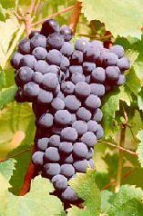 Le conserve a base di frutta: uva