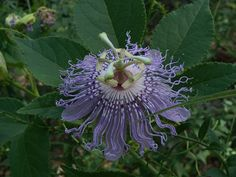 Purple Passion Flower / Passiflora incarnata :: This Arkansas native plant produces a beautiful flower and delicious fruit. It grows wild where we live in the Ozark Mountains! We love foraging for passion fruit and pollinators love it too. A sustainably wildcrafted or organically grown specimen would be perfect for our pollinator garden! | From the Arkansas Native Plant Society