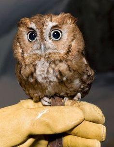 Baby Elf Barn Owl | Real Legend of the Guardians | Hydie's Weblog