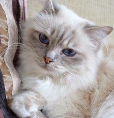 Love ya! #vanilj #birma #birman #breeder #catsofinstagram #chokladochvanilj #pinkalicious #welovecats #we_love_cats #bestcats_oftheworld #excellent_cats #birmavanner