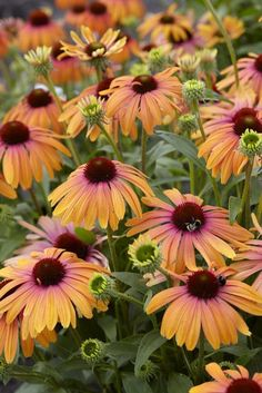 A Plant to Love, Butterfly 'Rainbow Marcella' Coneflower - Horticulture Flowers Perennials, Planting Flowers, Love Flowers, Beautiful Flowers, Exotic Flowers, Beautiful Pictures, Plantation, Flower Beds, Dream Garden