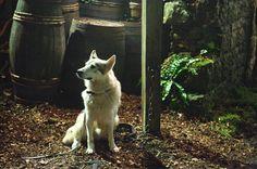 Lady, Sansa Stark's direwolf. #gameofthrones