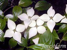 Flowering Tree Identification | Cornus kousa chinensis - Chinese Flowering Dw - Flower