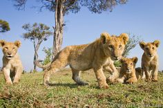 Four Lion Cubs by Will Burrard-Lucas
