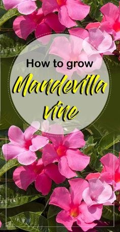 How to grow Mandevilla vine, Growing and care information Mandevilla plant, How to grow Mandevilla in a container, Propagation Mandevilla and care for it. Mandeville Plant, Flowers Perennials, Planting Flowers, Flower Gardening, Perennial Flowering Vines, Organic Gardening, Shade Perennials, Urban Gardening, Gardens