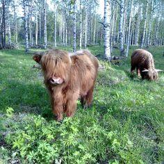 Highland Cattle In Finland. #bull #bulls #cow #cows #cattle #highlandcow #highlandcattle #farm #farmlife #forest #nature #finland #ylämaankarjaa #ylämaankarja