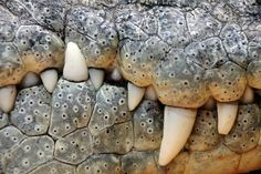 Photo about Close up of the mouth and teeth of a nile crocodile. Image of reptile, wildlife, teeth - 33045818 Teeth Art, Papua Nova Guiné, Dentistry For Kids, Nile Crocodile, Crocodile Tears, Cortez, Reptiles And Amphibians, Creature Design, Animals And Pets