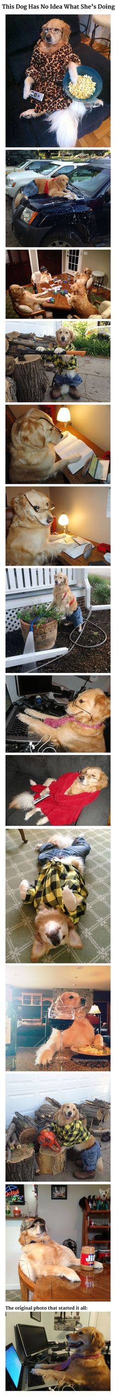 """This Dog Has No Idea What She's Doing. Remember that funny picture of a beautiful golden retriever seated at a computer with the caption """"I have no idea what I'm doing?"""" Her owner has come forward with more hilarious photos of her dog doing human things and being totally confused. Follow her https://www.facebook.com/disobailey http://instagram.com/goldenretrieverbailey http://imgur.com/gallery/WlgnC"""