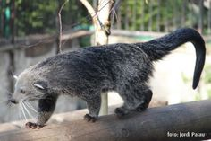 Binturong/bearcat (that's a bearcat???)  LOL