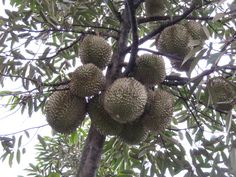 My Durian plantation in village Toenju, season Durian every January -April every year, my nice village richest of fruit: Durian, mangosteen,banana, jack fruit,sweet Lanseh, cofee,rice, clove and much much more that is Bali