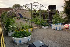 1800 SF Rooftop vegetable garden was established on the roof of a downtown Toronto restaurant. Pole beans grow in recycled ice-cream buckets while lem.