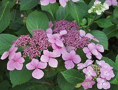 Tellerhortensie kombinieren mit Rhododendren und verschiedensten, auch auffälligeren Schattenstauden wie Astilbe oder Herbstanemone kombinieren. Empfehlenswerte Sorten sind 'Bluebird' und 'Preziosa'.